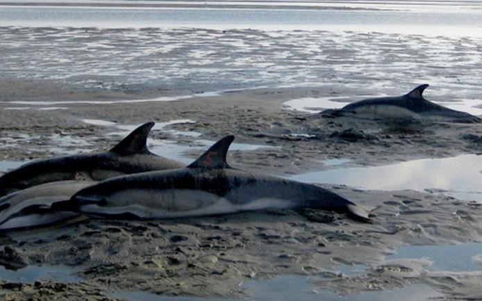 Giúp cá Heo mắc cạn trở về với tự nhiên chưa chắc đã là việc làm đúng đắn