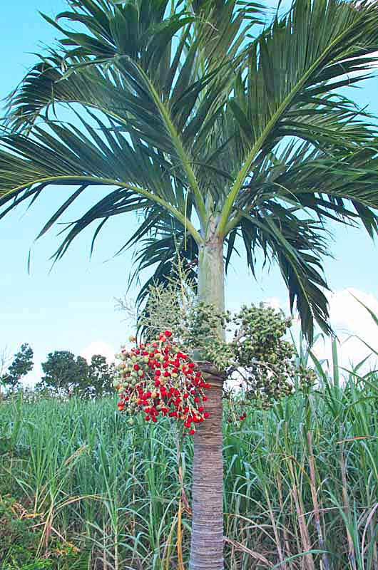 Manila Palm tree near sugarcane field