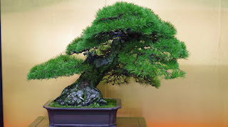 Slanting Bonsai style Shakan