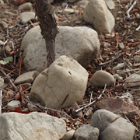 Sauvignon Blanc vine and greywacke rocks