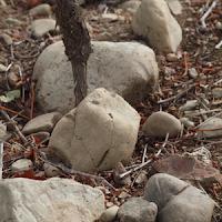 Sauvignon Blanc vine and greywacke rocks
