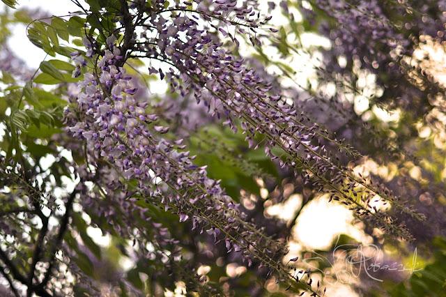 Majowy ogród pachnący wisterią