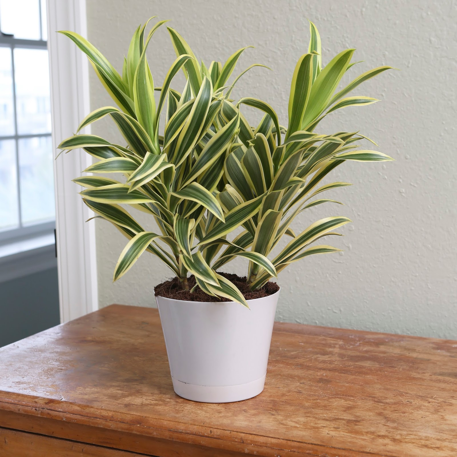The garden plot five fab reasons to grow house plants for for Plante dracaena