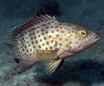 Ikan Kerapu Lumpur (Epinephelus bleekeri)
