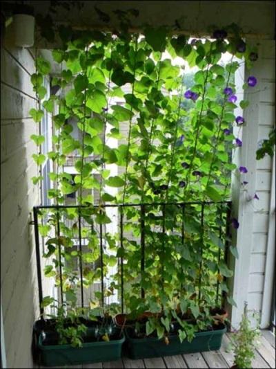 Pagar tanaman, selain bisa memberi privasi juga bisa memberi keteduhan pada teras. Lebih baik kalau menanam tanaman kacang merambat atau tanaman lain yang buahnya bisa dipanen, sekaligus untuk menciptakan pagar tanaman seperti ini.