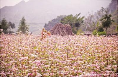 Hà Giang đẹp rạng rỡ với lễ hội hoa tam giác mạch 5