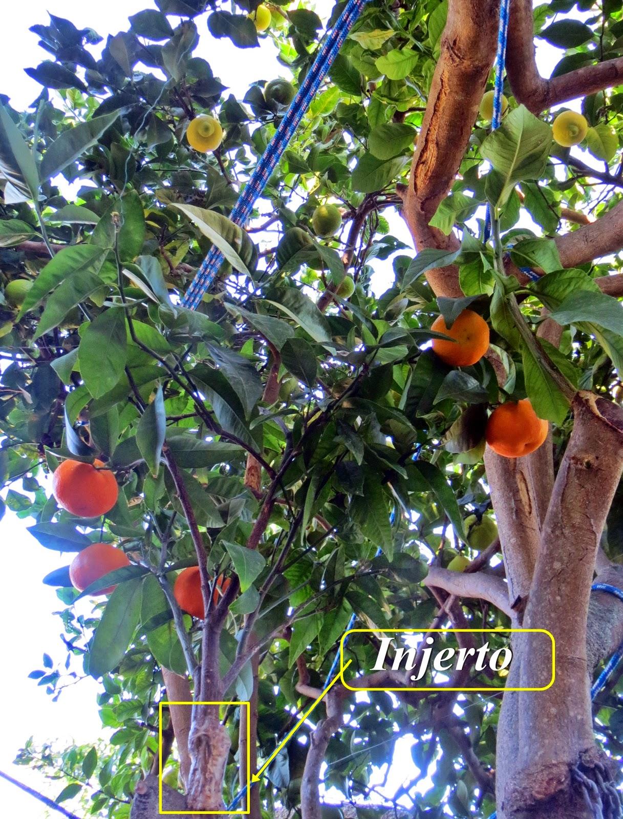 Verde y tierra hablemos de injertos for Cuanto mide un arbol