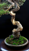 crecimiento en espiral de bonsai center sopelana
