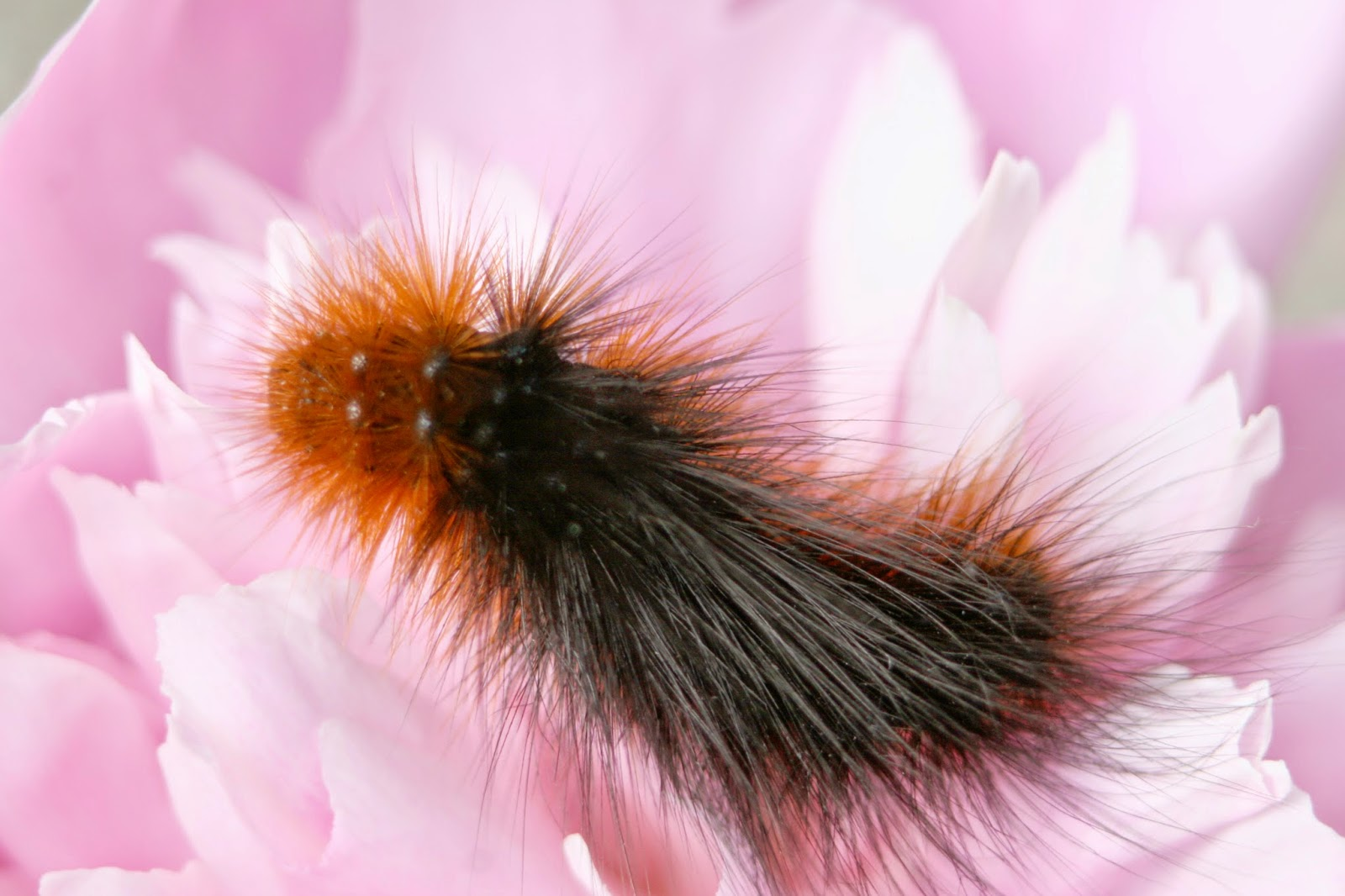 macro garden tiger moth caterpillar