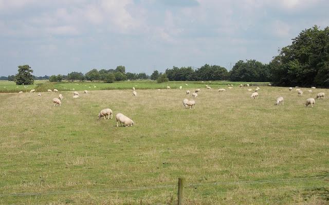 Witte schapen in het weiland