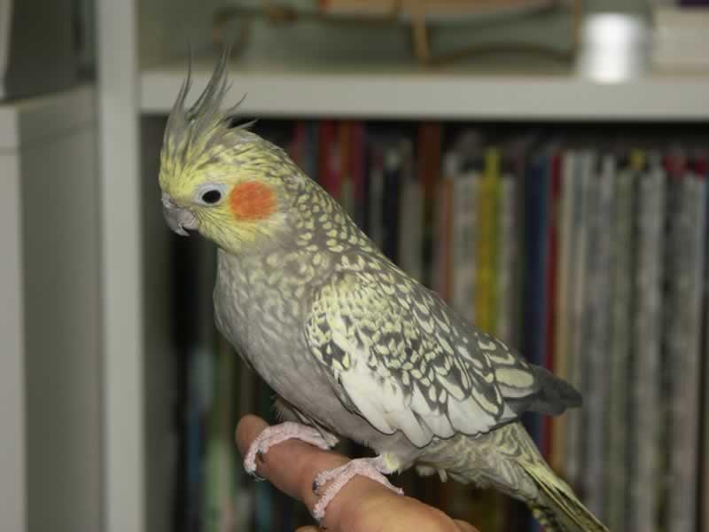 Cockatiel Bird Pictures