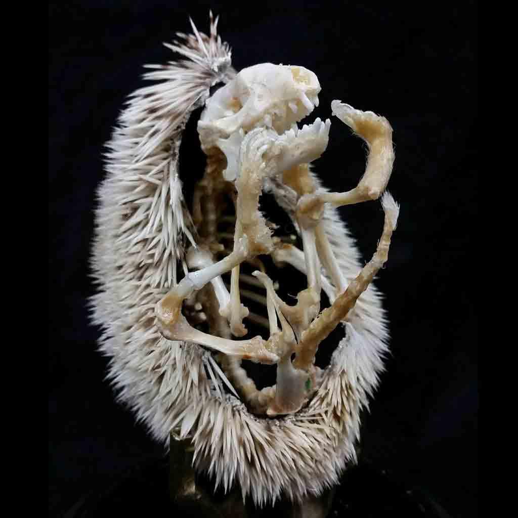 Extremidades, cráneo y púas del esqueleto de un erizo de tierra