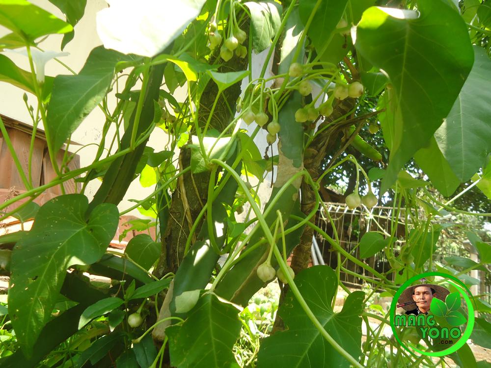 Cara membuat benih kangkung sendiri ~ Blog Mang Yono