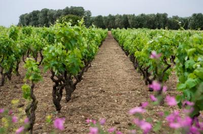 vigne alberello puglia