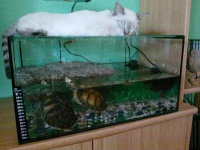 tortugas-orejas-amarillas-cuidados-alimentacion