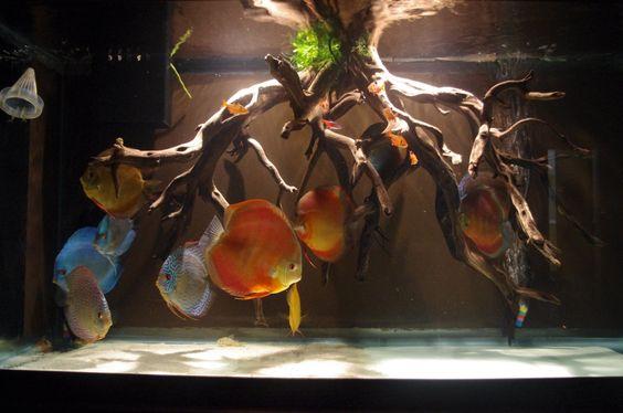 Bể thủy sinh không trồng cây nuôi cá dĩa và chơi lũa