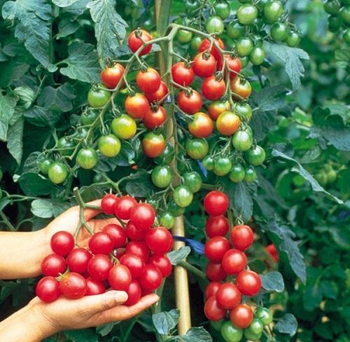 Cây cà chua có quả đỏ vàng xanh sai trĩu