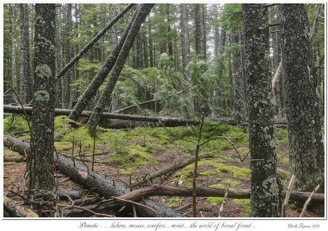 Pemetic: ... lichens, mosses, conifers... moist... the world of boreal forest...