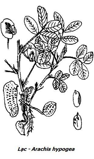 Hình vẽ cây Lạc - Arachis hypogea - Nguyên liệu làm thuốc Nhuận Tràng và Tẩy