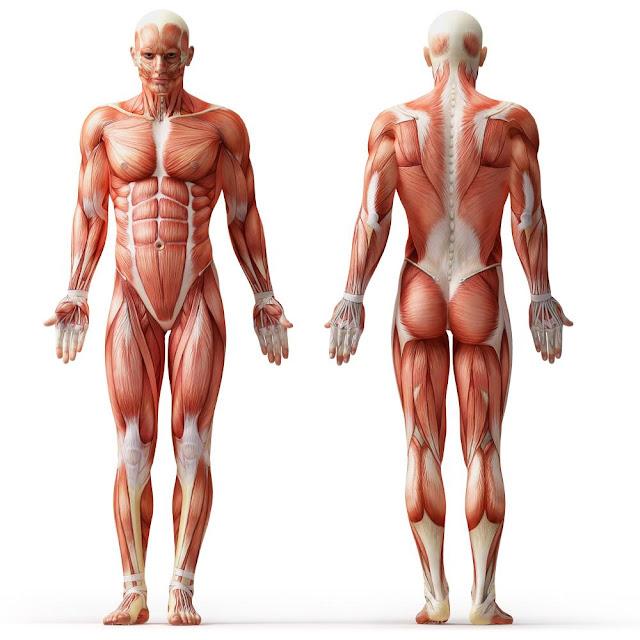 ما هي العضلة ؟  كيف تعمل العضلة ؟