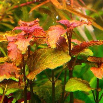 Trong điều kiện tốt, cây tía tô có màu hồng trong bể thủy sinh