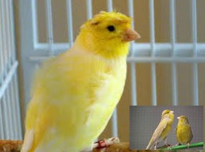 Mengetahui Ciri Ciri Akurat Burung Kenari Betina Paling Lengkap