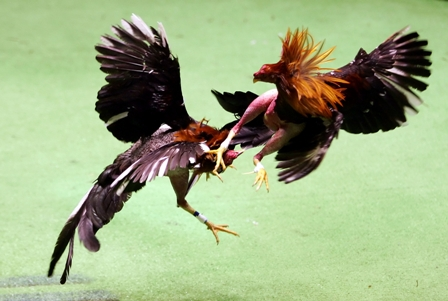 Cock Fighting Philippines 80