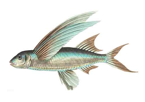 উড়ন্ত মাছ, flying fish