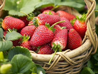 Budidaya Strawberry dengan bantuan Polybag