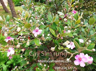 Sản phẩm cần bán: Cây sim, loài cây đầy vị thuốc dễ trồng Cay-sim-rung-dang-ra-hoa