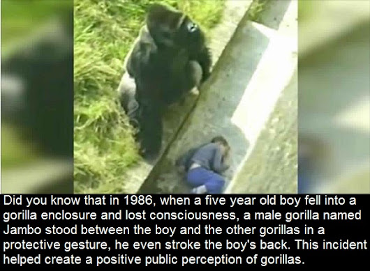 Did you know that in 1986, when a five year old boy fell into a gorilla enclosure and lost..