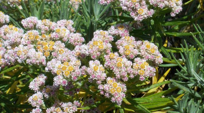 Hasil gambar untuk bunga edelweis gunung rinjani