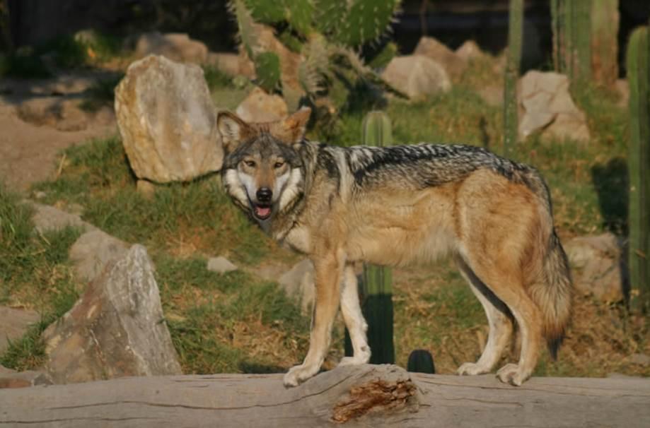 Rehabilitación Del Lobo Gris En Proceso: La Diversidad De Los Seres Vivos Y Sus Interacciones