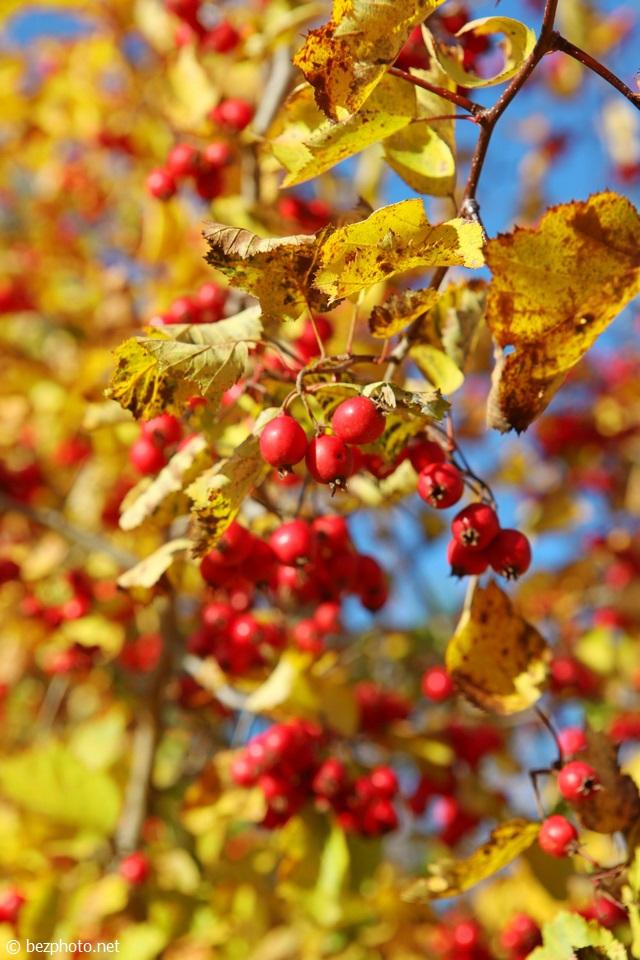 листья боярышника осенью фото