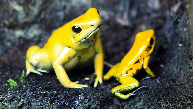 Frog parasite drives 500 species towards termination  Brilliant toxic substance frogs Credit Peter Gercke