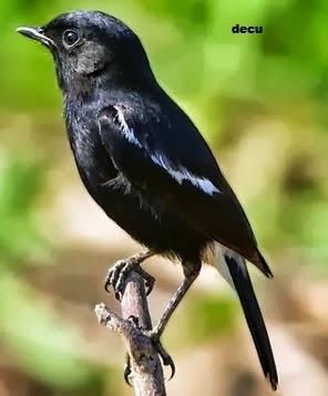 Mengenal Burung Decu Www Gadingspe Com
