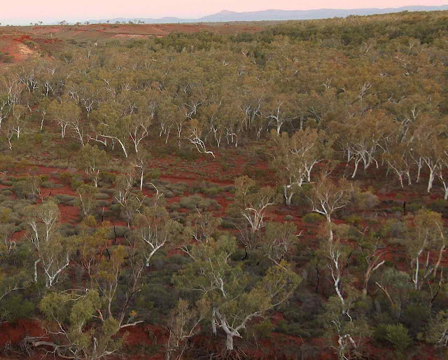 Floresta de eucaliptos na região de Pilbara, Austrália ocidental