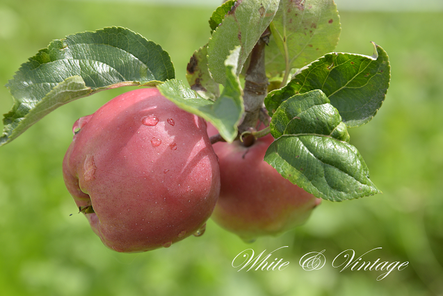 Der Apfel - ein kleiner Tausendsassa