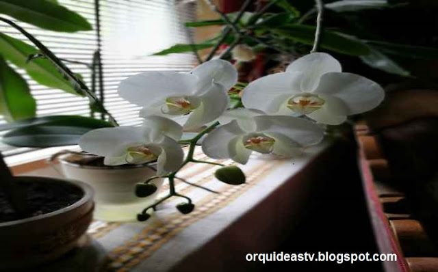 Como cuidar de orquideas em apartamentos