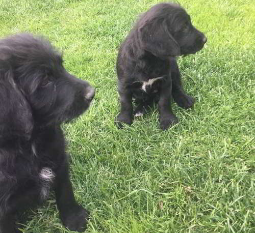 cachorros mestizos perro aguas 2