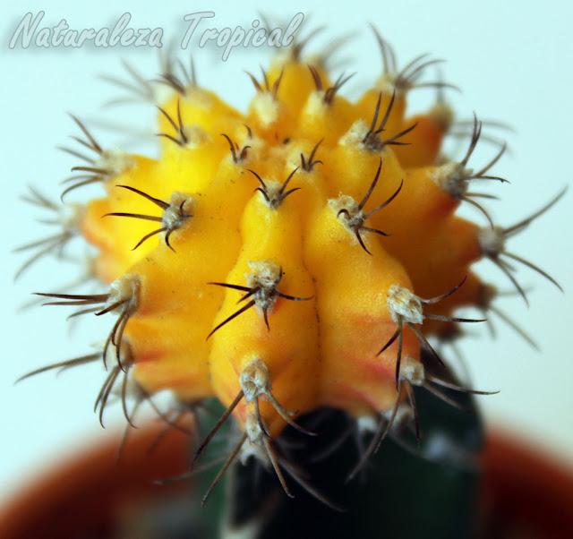 Variedad amarilla de un cactus del género Gymnocalycium