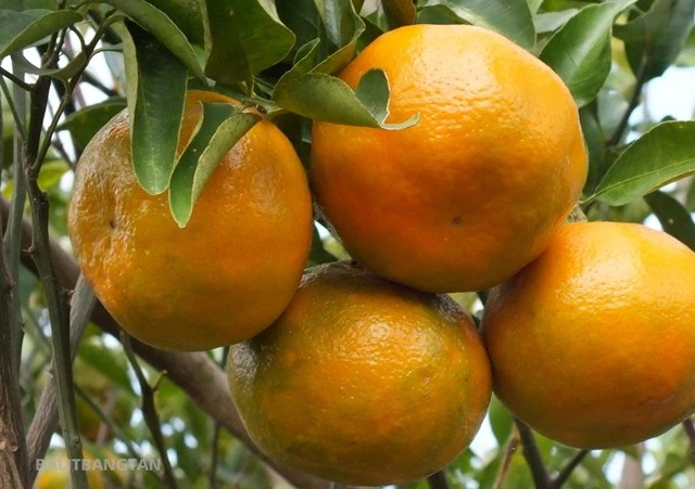 tanaman hias buah jeruk keprok madura