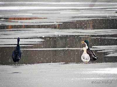 waterfowl talking