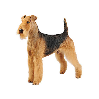 Everything about your Airedale Terrier