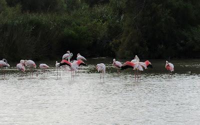 Flamencos rosas en la Camarga