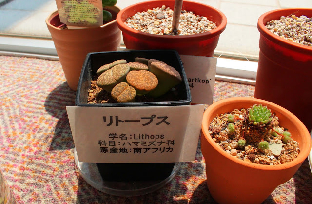 山口県、宇部市のときわ公園の植物園がリニューアルしたよ【Y】 プラントハンター西畠清順、世界を旅する植物館  多肉植物リトープス