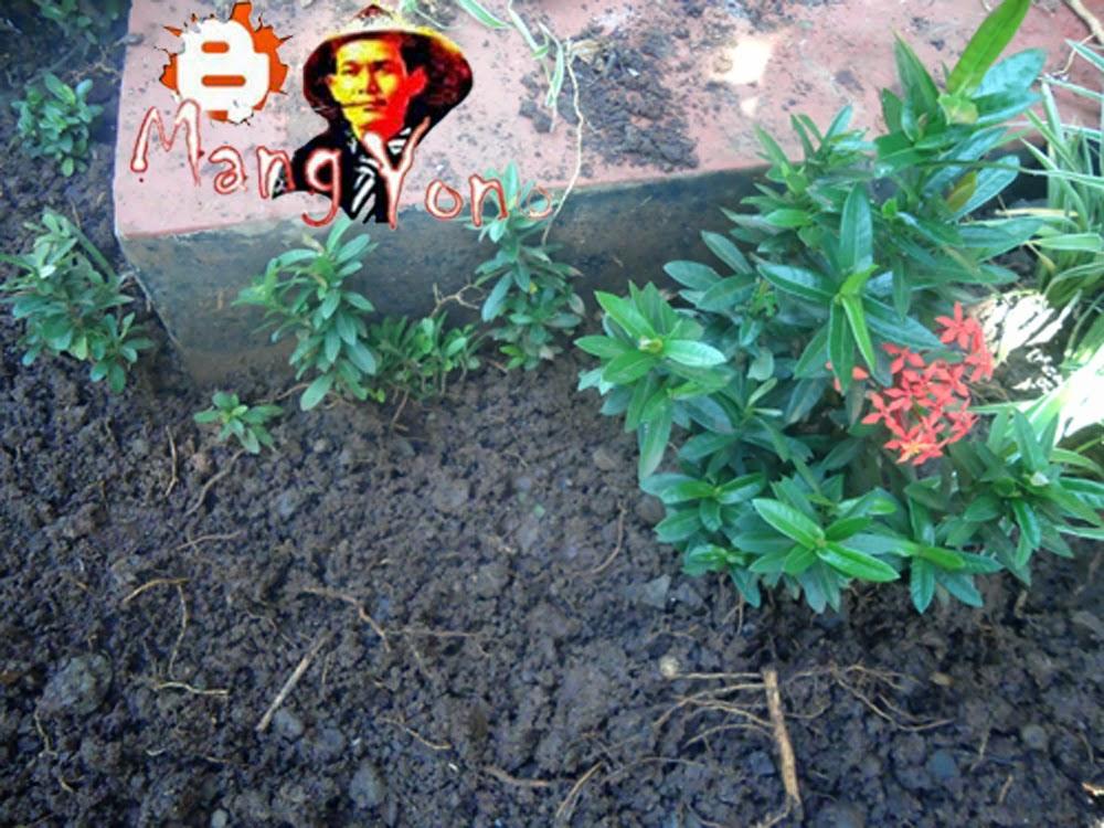 Cara menanam bunga soka hasil semai dari stek batang