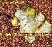 Picture of Ginger Rhizomes with Growth Buds