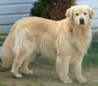 Breeds Dog Golden Retriever Dog Description