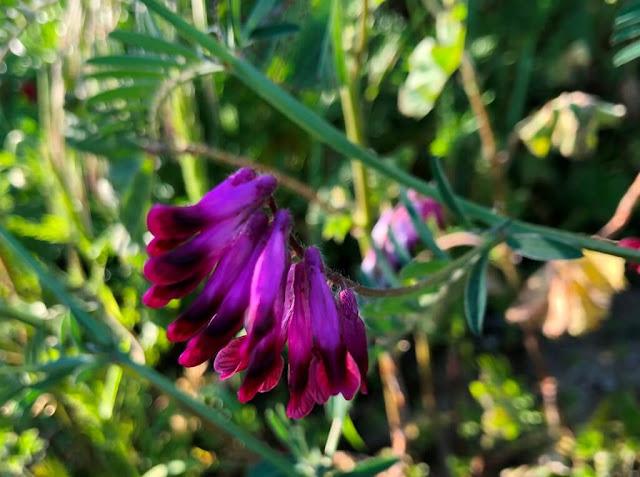 Flores Silvestres - Herbáceas em Flor